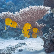Shoal of butterfly fish — Stock Photo #5154101