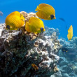 Shoal of butterfly fish — Stock Photo