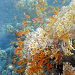 Coral scene on the reef — Stock Photo #5154459
