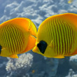Shoal of butterfly fish — Stock Photo #5154528