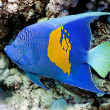 Yellowbar Angelfish — Stock Photo #5154536