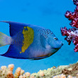 Stock Photo: Yellowbar Angelfish