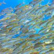 Shoal of yellowfin goatfish — Stock Photo #5154862