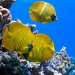Shoal of butterfly fish — Stock Photo #5155006