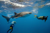 Whale shark and underwater photographer — Stock Photo
