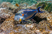 Sohal Surgeonfish — Stock Photo