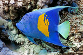 Yellowbar Angelfish — Stock Photo
