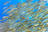 Shoal of yellowfin goatfish — Stock Photo