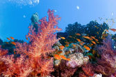 Coral reef scene with anthias fish — Stock Photo