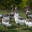Group of geese - Stock Photo
