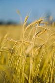 épis de blé sur le champ au premier plan — Photo
