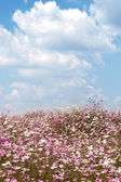 Field of wild cosmos flowers — Stock Photo