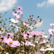 Stock Photo: Field of wild cosmos flowers