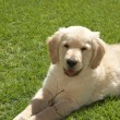 Foto Stock: Small golden retriever puppy
