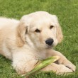 Small golden retriever puppy — Foto Stock #5161389