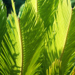 Beautiful green Cycas revoluta — Stock Photo #5164475