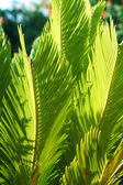 Beautiful green Cycas revoluta — Stock Photo