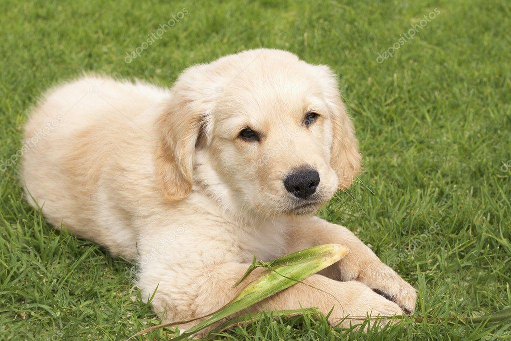 kleine gouden retriever pup stockfoto elenat 5161389. Black Bedroom Furniture Sets. Home Design Ideas