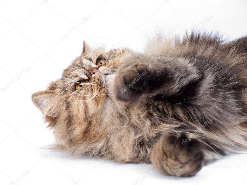 Cat, Persian — Stock Photo #5321857