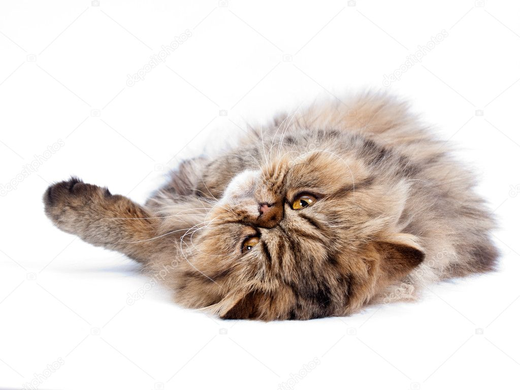 Cat, Persian — Stock Photo #5321895