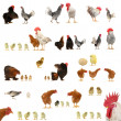 Chicken histories — Stock Photo
