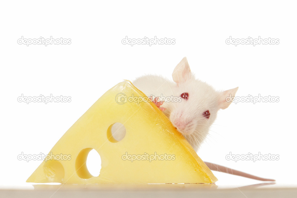 Rat on a white background pet                              — Stock Photo #5054579