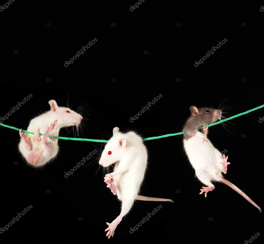 White rat on a black background — Stock Photo #5149690