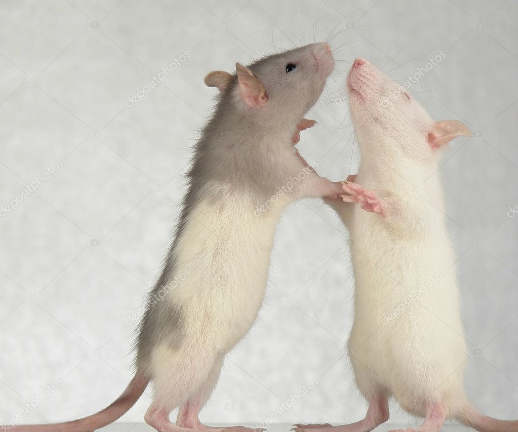 Rats on a white background                                    Photo #5149776