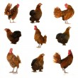 Cock and hen on a white background - Stock Photo