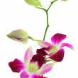 Stock Photo: Orchid white