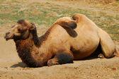 Lying camel — Stock Photo
