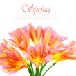 Fresh spring crocus flower — Stock Photo