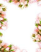 新鲜玫瑰帧 — 图库照片