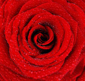 Humide rouge rose fond — Photo