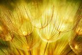 Měkké pampelišky květiny — Stock fotografie