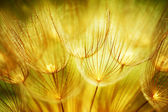 Soft dandelion flowers — Stock Photo