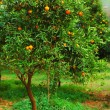 Stock Photo: Mandarin tree