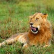 Portrait of young wild african lion - Stockfoto