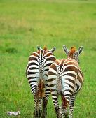 Two wild zebras — Stock Photo