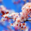 Cherry tree blossom — Stock Photo #5293565