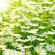 Spring field of daisies — Stock Photo