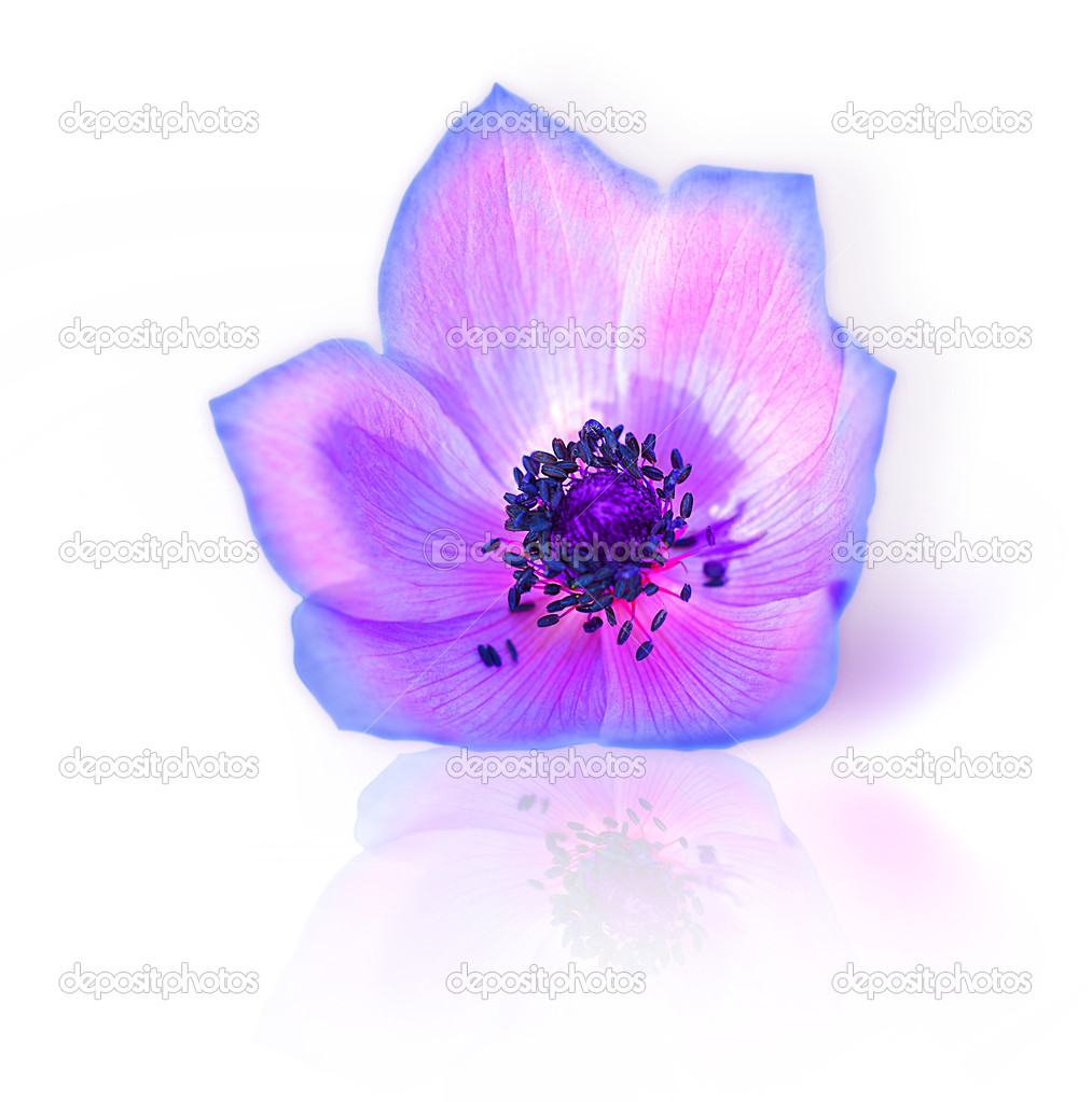 Macro of fresh spring purple wild flower head isolated on white background  Stock Photo #5293868