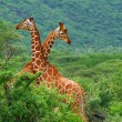 Fight of two giraffes — Stock Photo