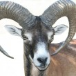 Royalty-Free Stock Photo: Mouflon