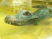 Aligator — Zdjęcie stockowe