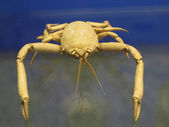 Old crab — Stock Photo