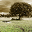 Oak and horses — Stock Photo
