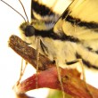 Stock Photo: Macro of head of butterfly with enormous black eye