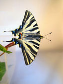 Butterfly with the lalas extended on a branch — Stock Photo