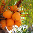 Coconuts in palm tree ripe yellow fruit — Stock Photo #5122536